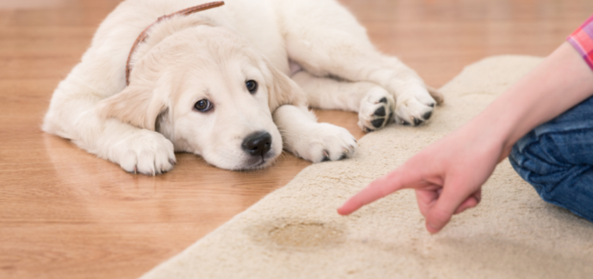 3-Steps-for-preventing-stains-from-puppy-urine-